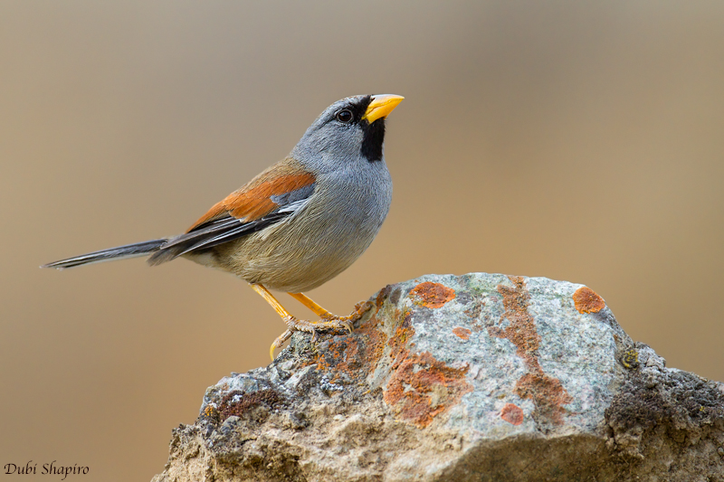 Great Inca-Finch (Dubi Shapiro, photo)