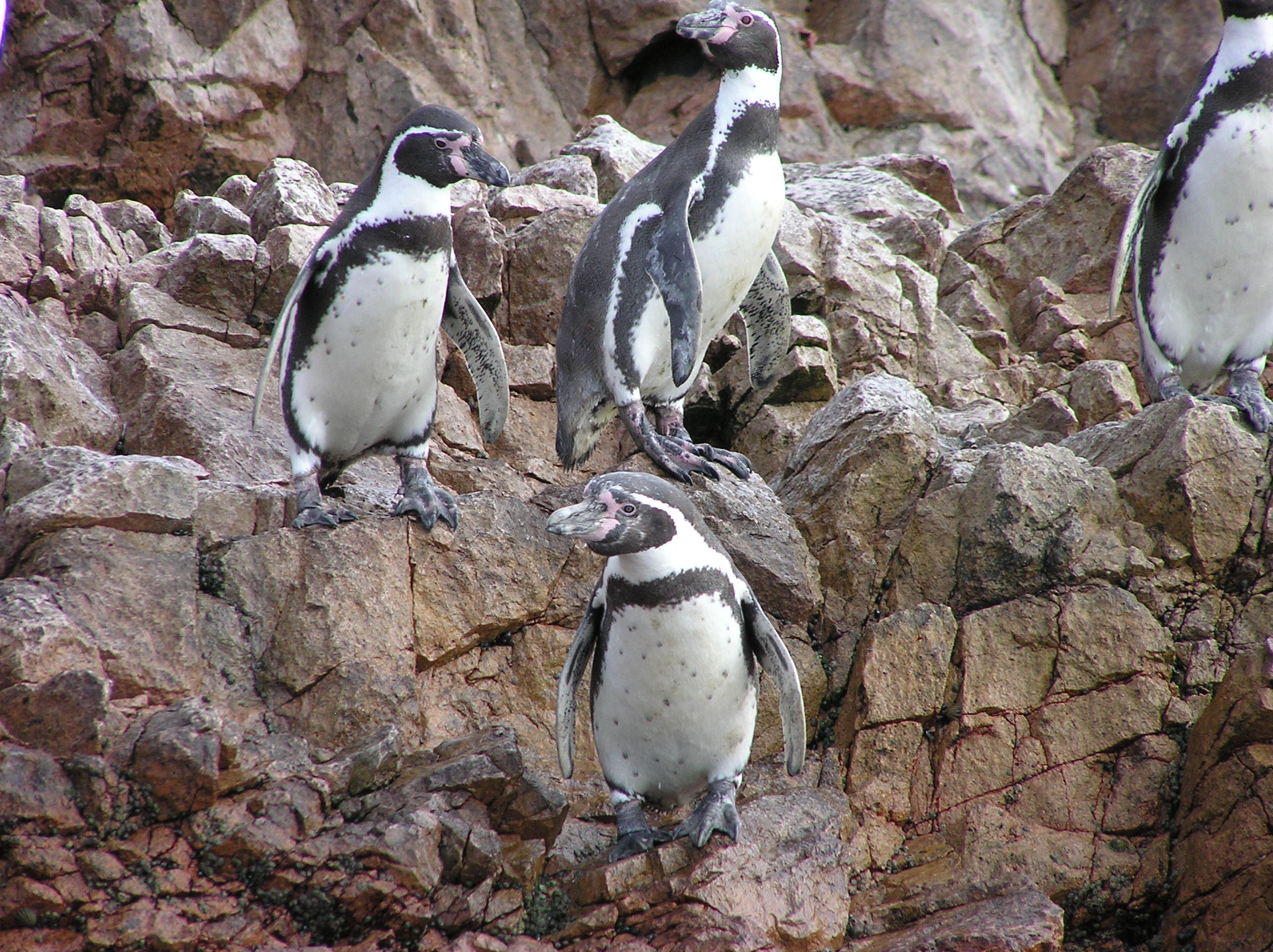 Humboldt Penguins off the coast of Peru (Jeff Marks photo)