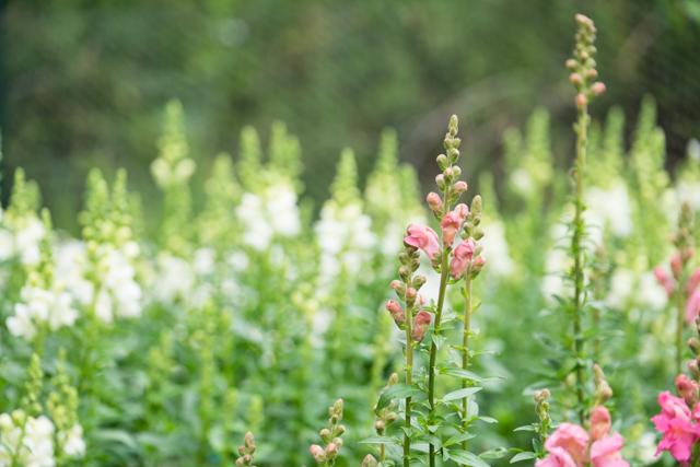 florists antirrhinum.jpg