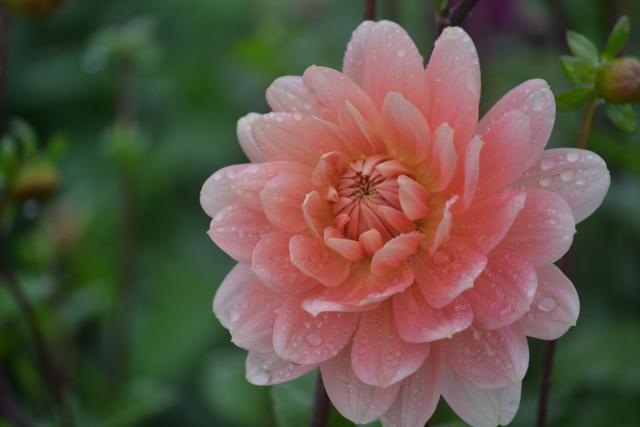 autumn flowers - peach dahlia.jpg
