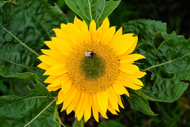 Bee loving Sunrich Gold Sunflower - Photo by Emma Davies