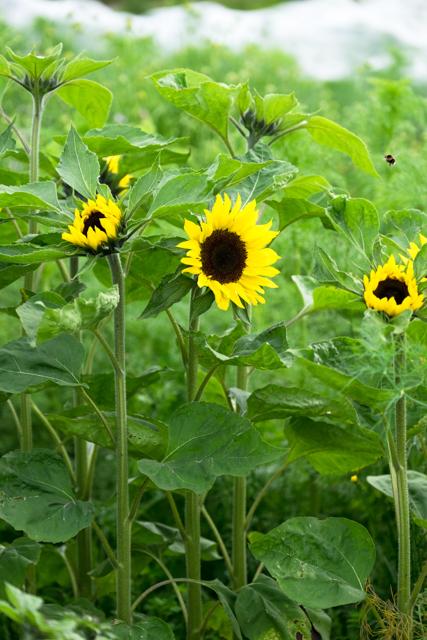 Sunrich yellow