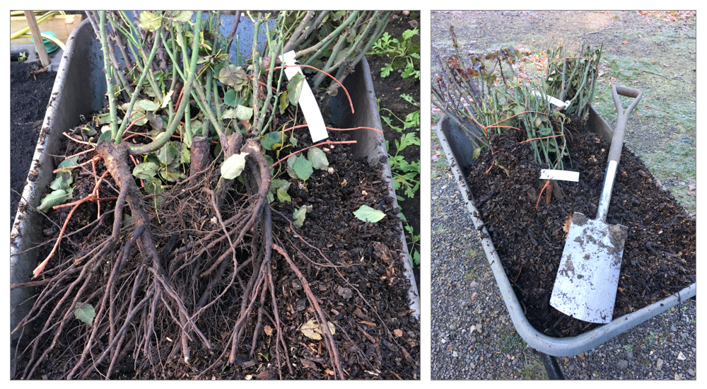 """Bare root plants are grown in the field and dug up when dormant, they need to be kept moist and covered and planted as soon as possible, as little as half an hour in the cold and wind at this time of year can be an issue, I use bark chip as a material to cover them up. If you can't plant them the day they arrive, they need to be """"heeled in"""" - dig a hole and cover the roots with compost or bark chip - don't water, you don't want it to start growing."""