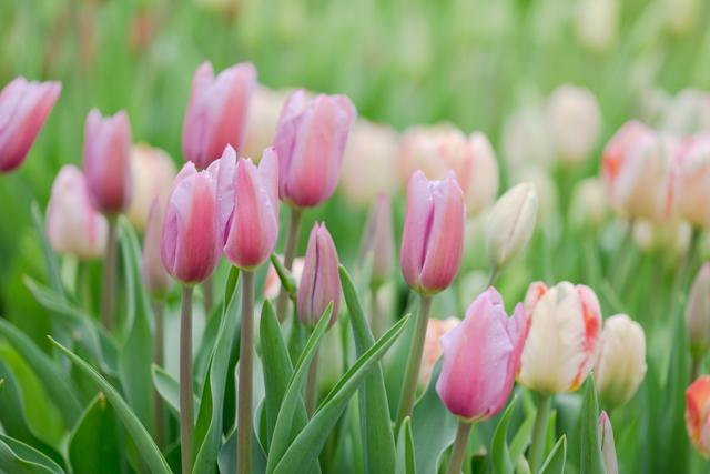 tulip Mistress Grey.jpg
