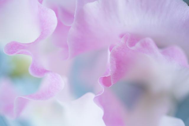 sweet pea close up.jpg