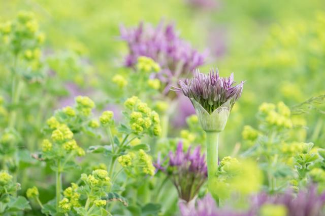 Summer flowers - alchemilla.jpg