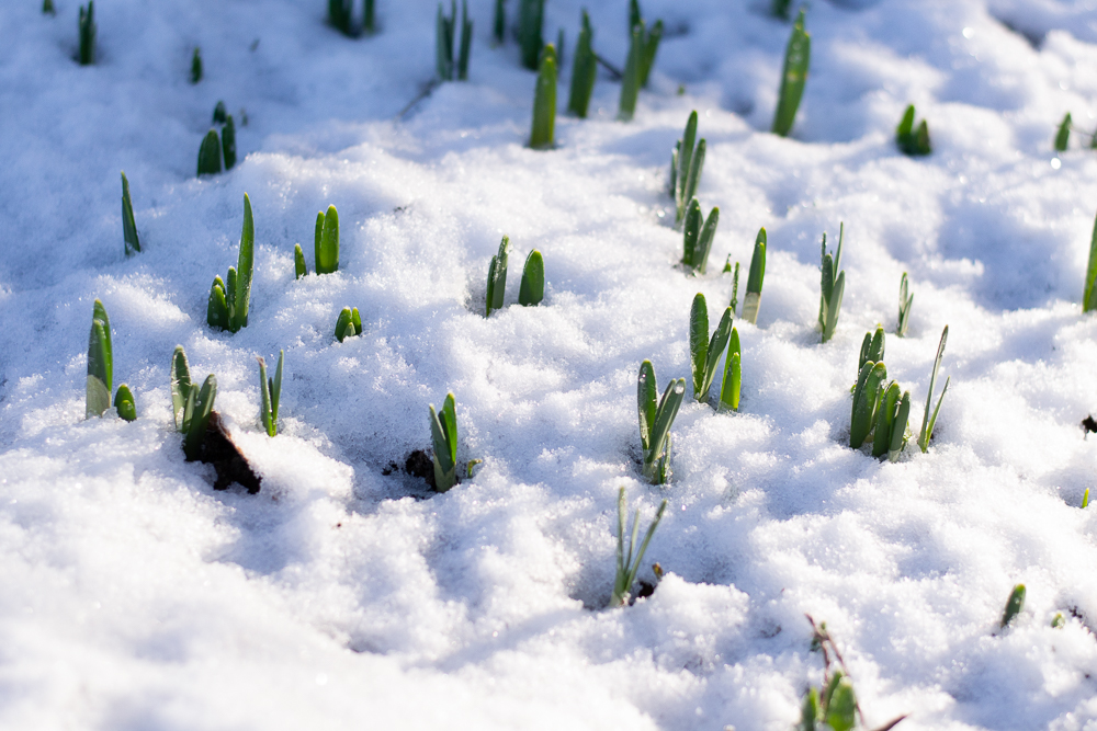 Narcissus poking through the ground and then the snow