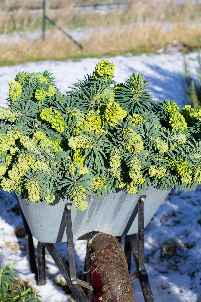 We did manage to cut a big barrow of Euphorbia
