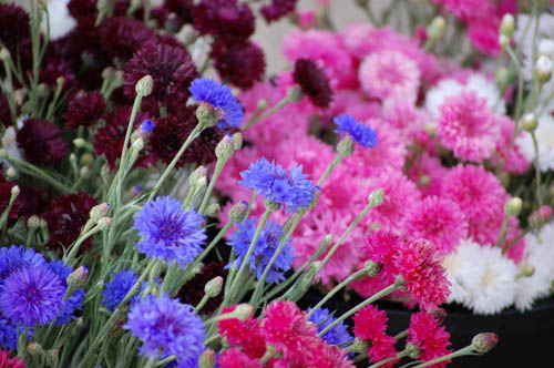 Many different colours of cornflowers