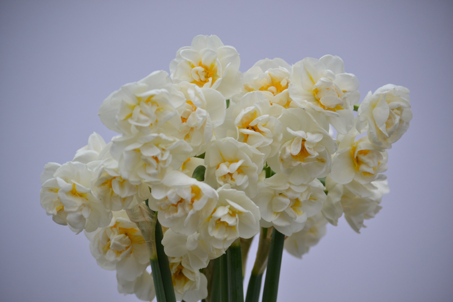 Bridal crown narcissus-2.jpg