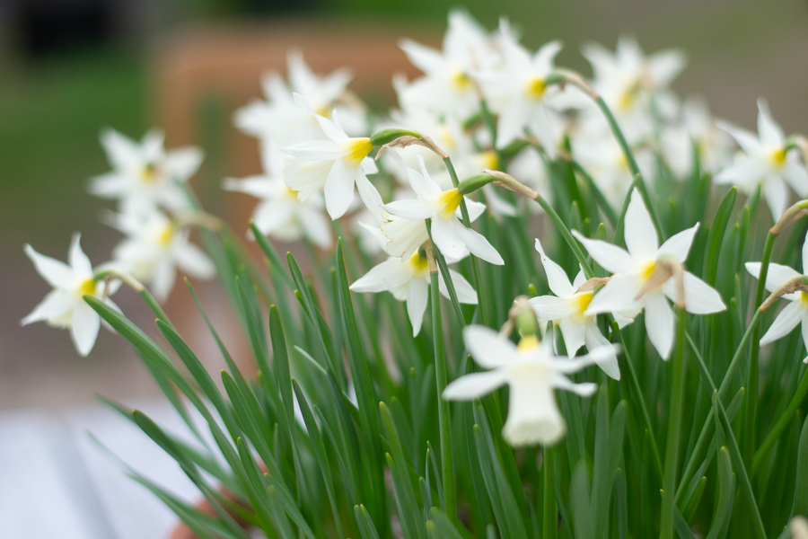 pretty narcissus.jpg