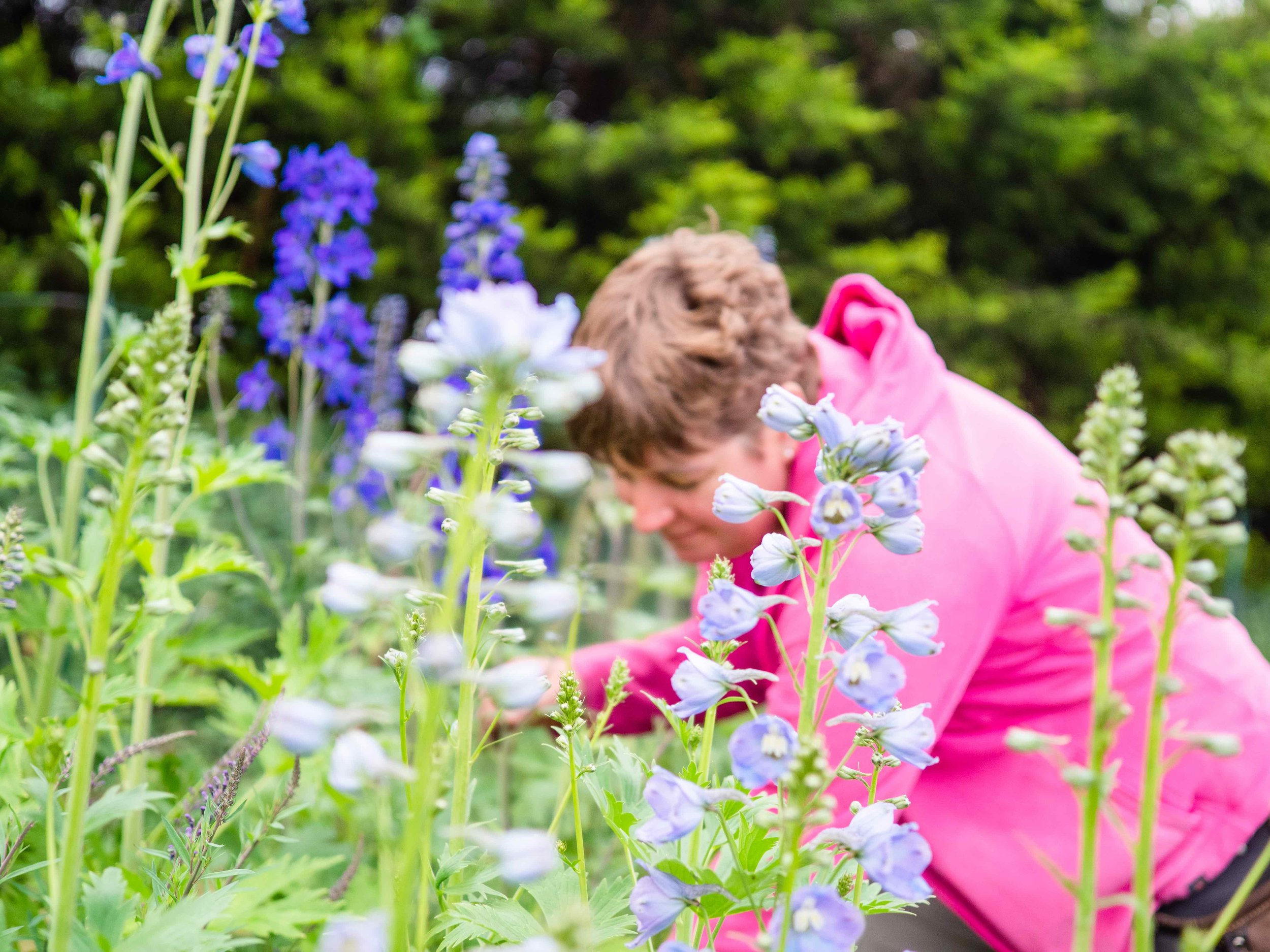 Claire cutting delphiniums.jpg