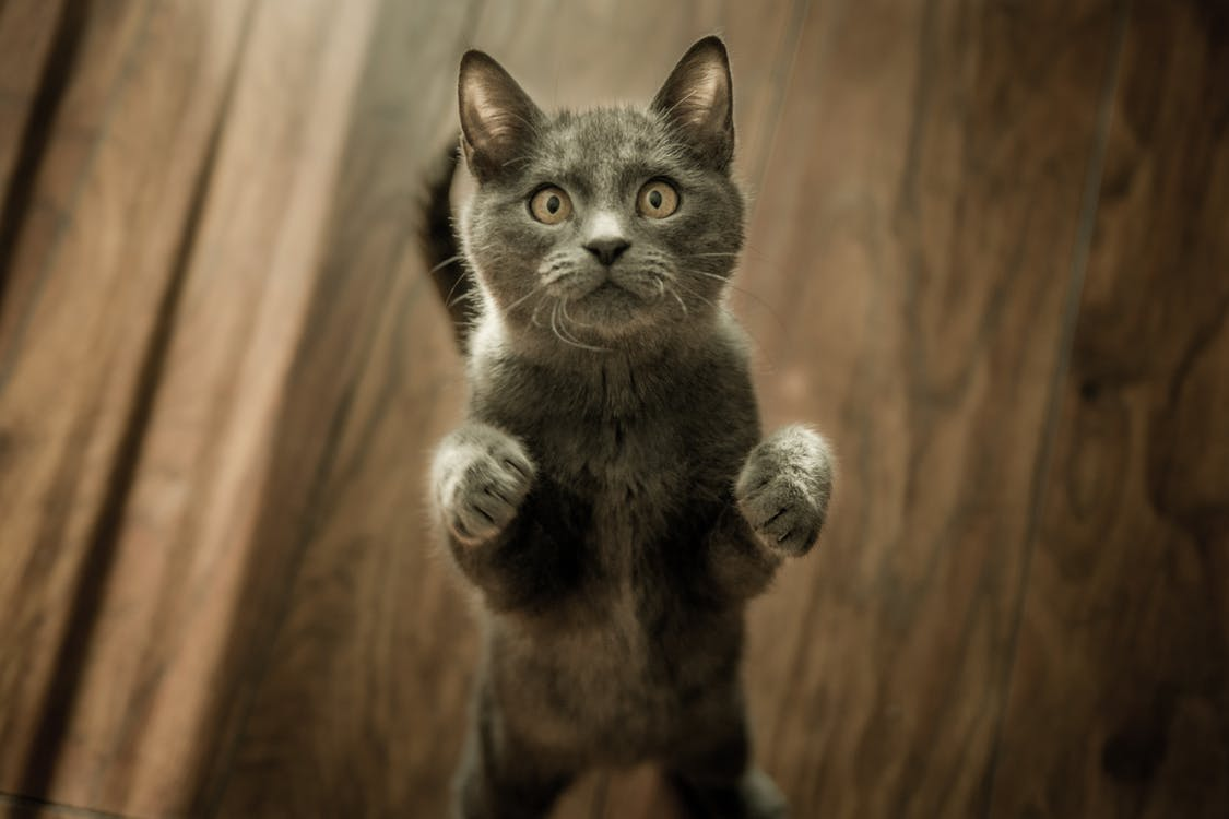 grey standing kitteh.jpeg