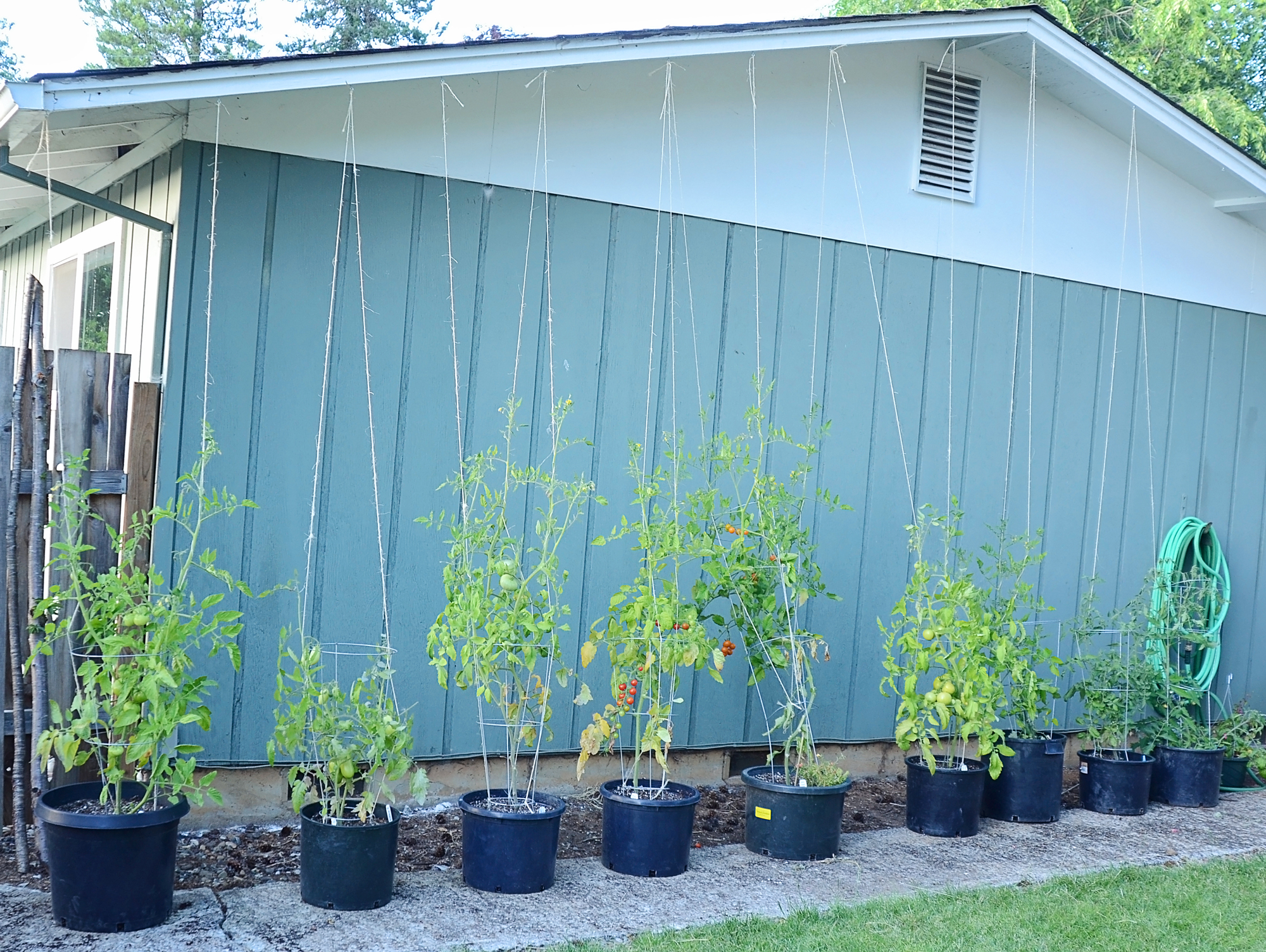 From an employee garden: A creative way to trellis using some leftover pea & bean string
