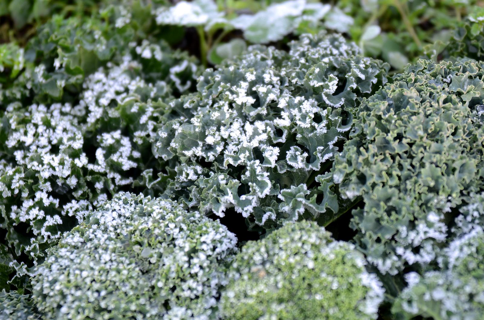 Kale after a deep frost: December 2013