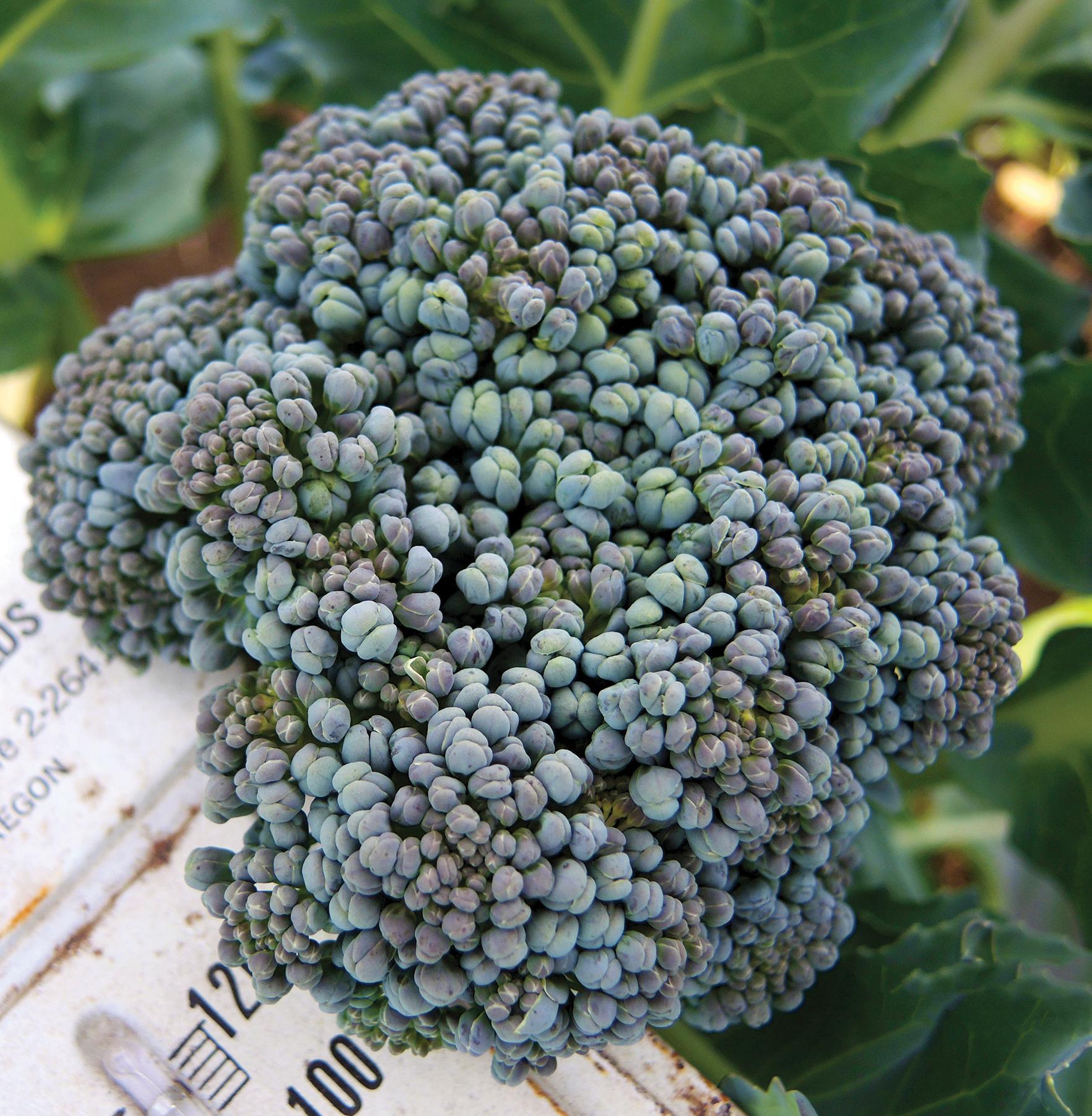 Umpqua broccoli