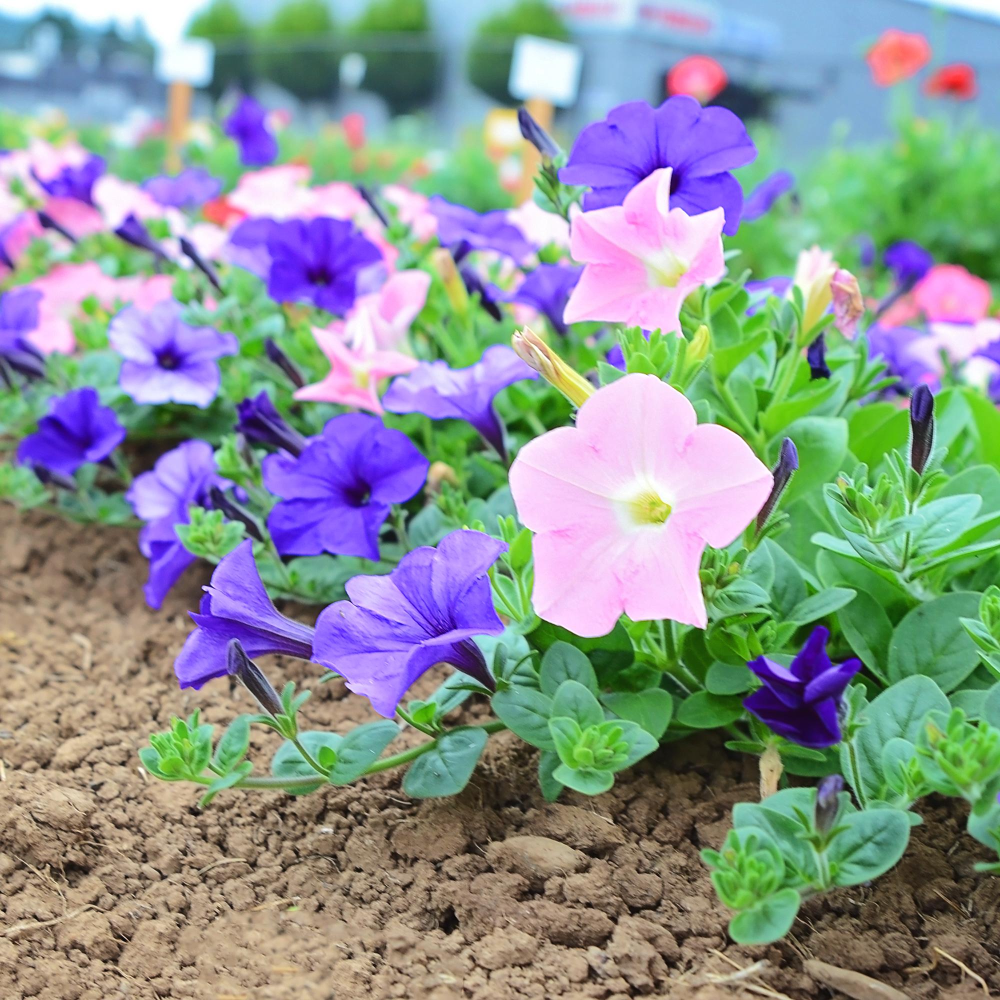 petunia-flower-trials-07-25-16.jpg
