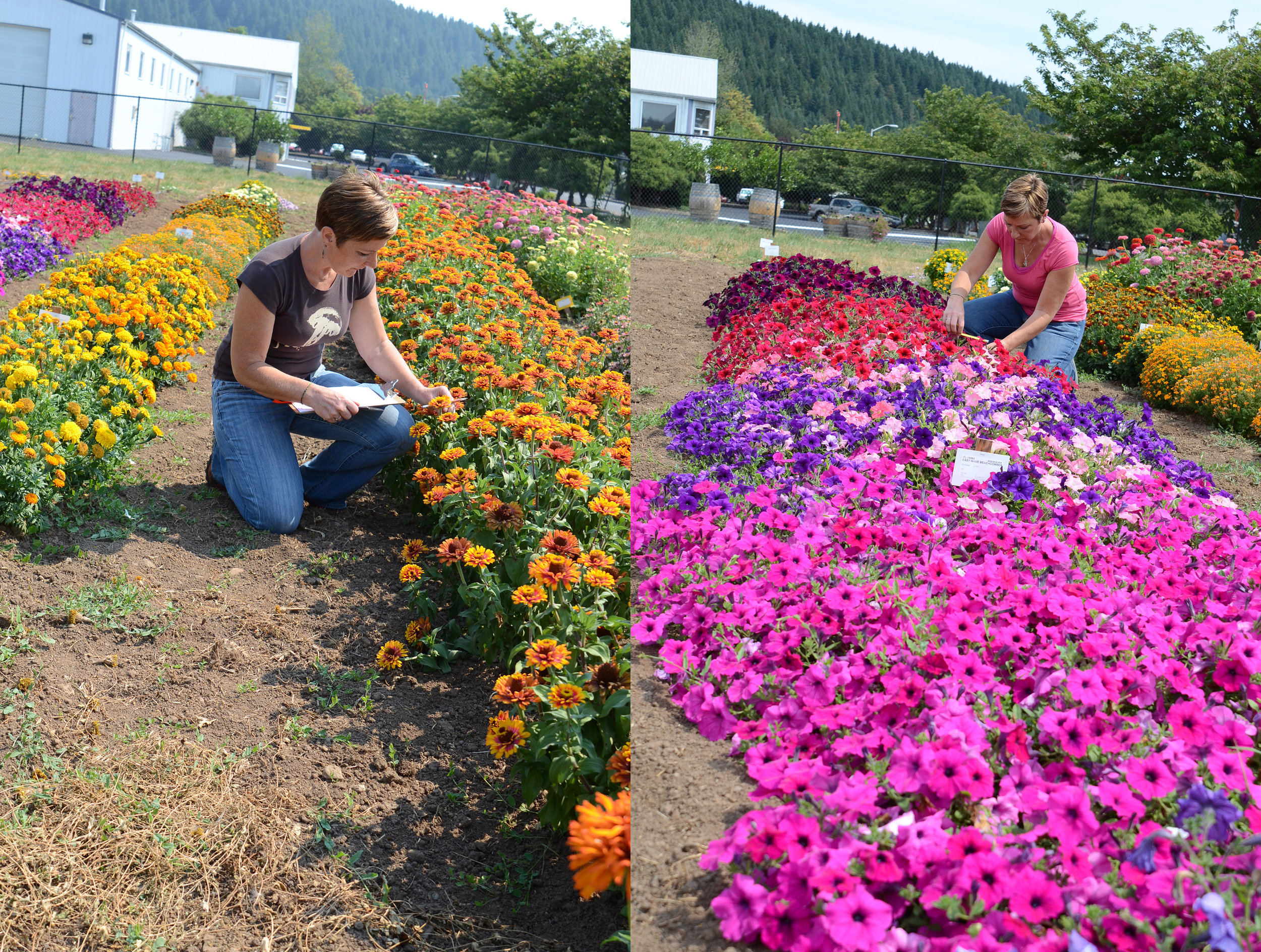 Competition in the flower trials is stiff with every flower vying for attention. Evaluating all these gorgeous varieties is a tough job, but somebody's got to do it!