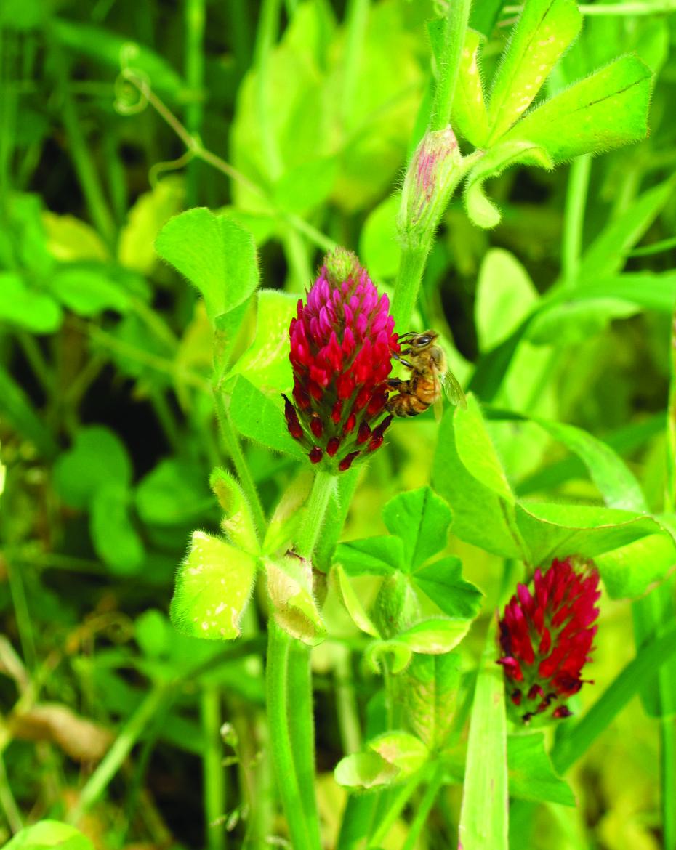 Crimson Clover.jpg