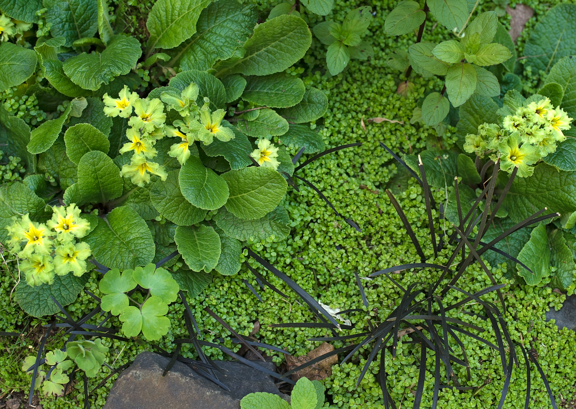 Primrose underplanted with Baby's Tears