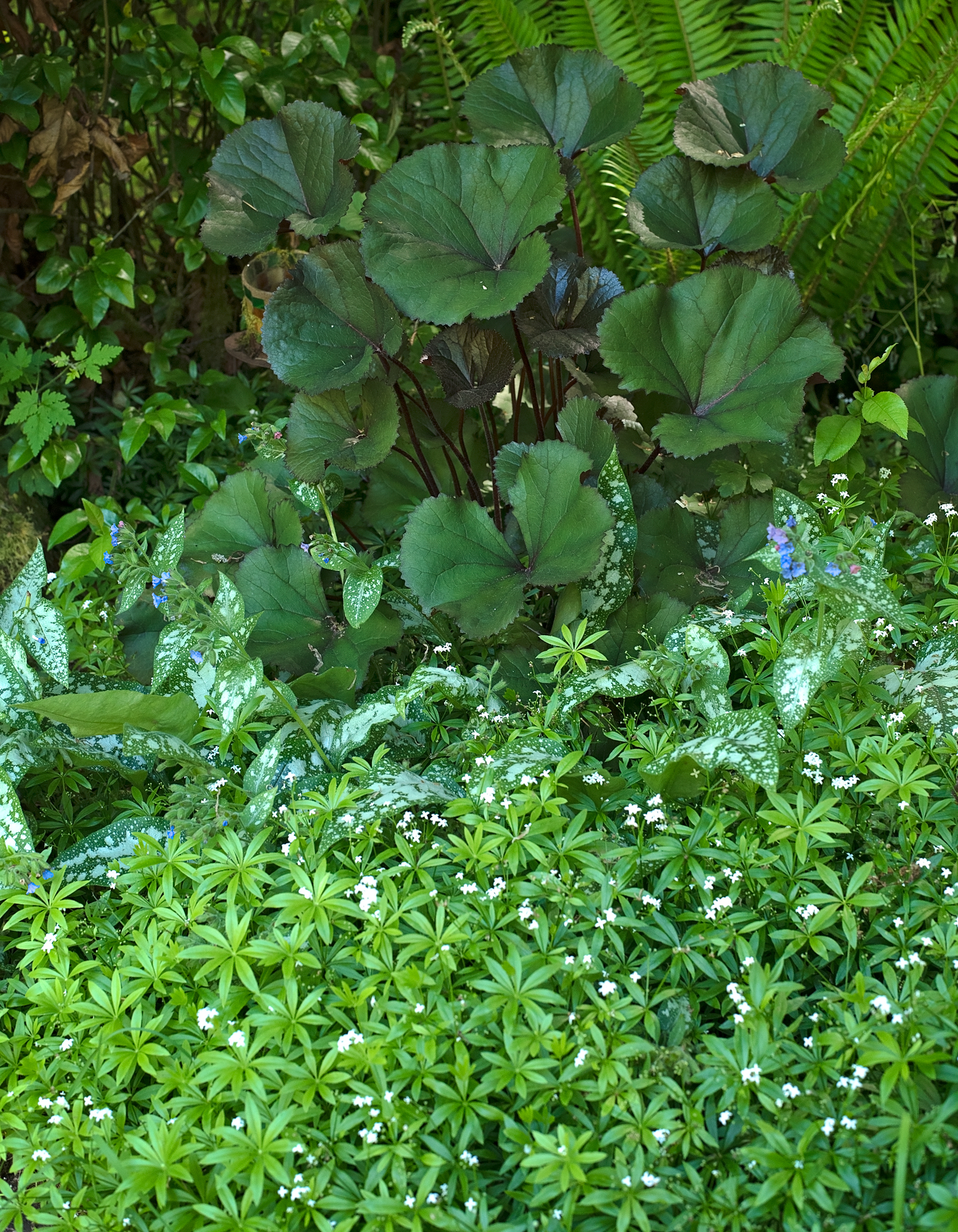 A shady spot with Sweet Woodruff covering the ground under Ligularia and Lungwort