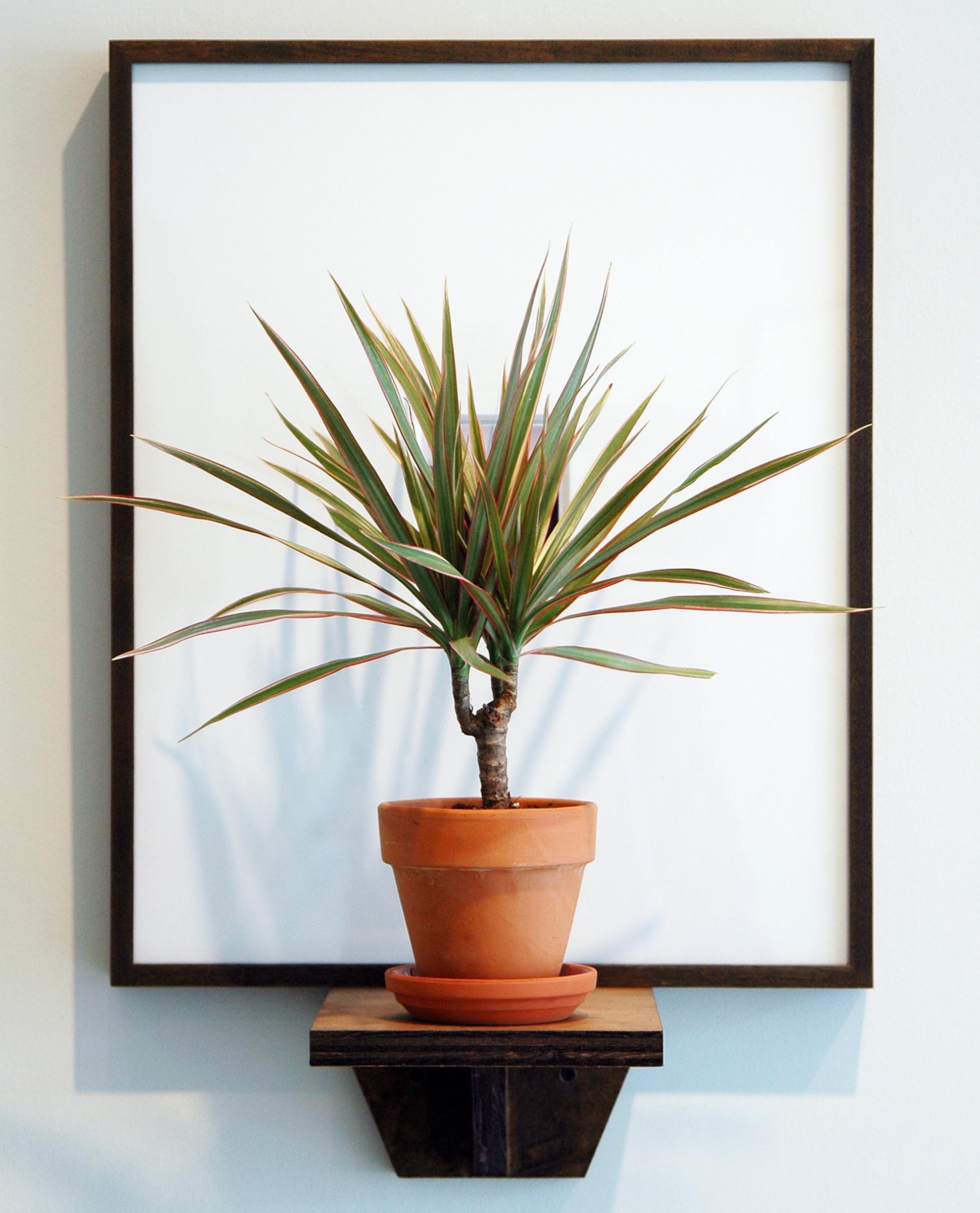 "JOSHUA PIEPER   Dead and Alive (George) , framed archival Polaroid, shelf, tri-colored dresena plant, 24.5"" x 16.25"" x 9.75"", 2012"