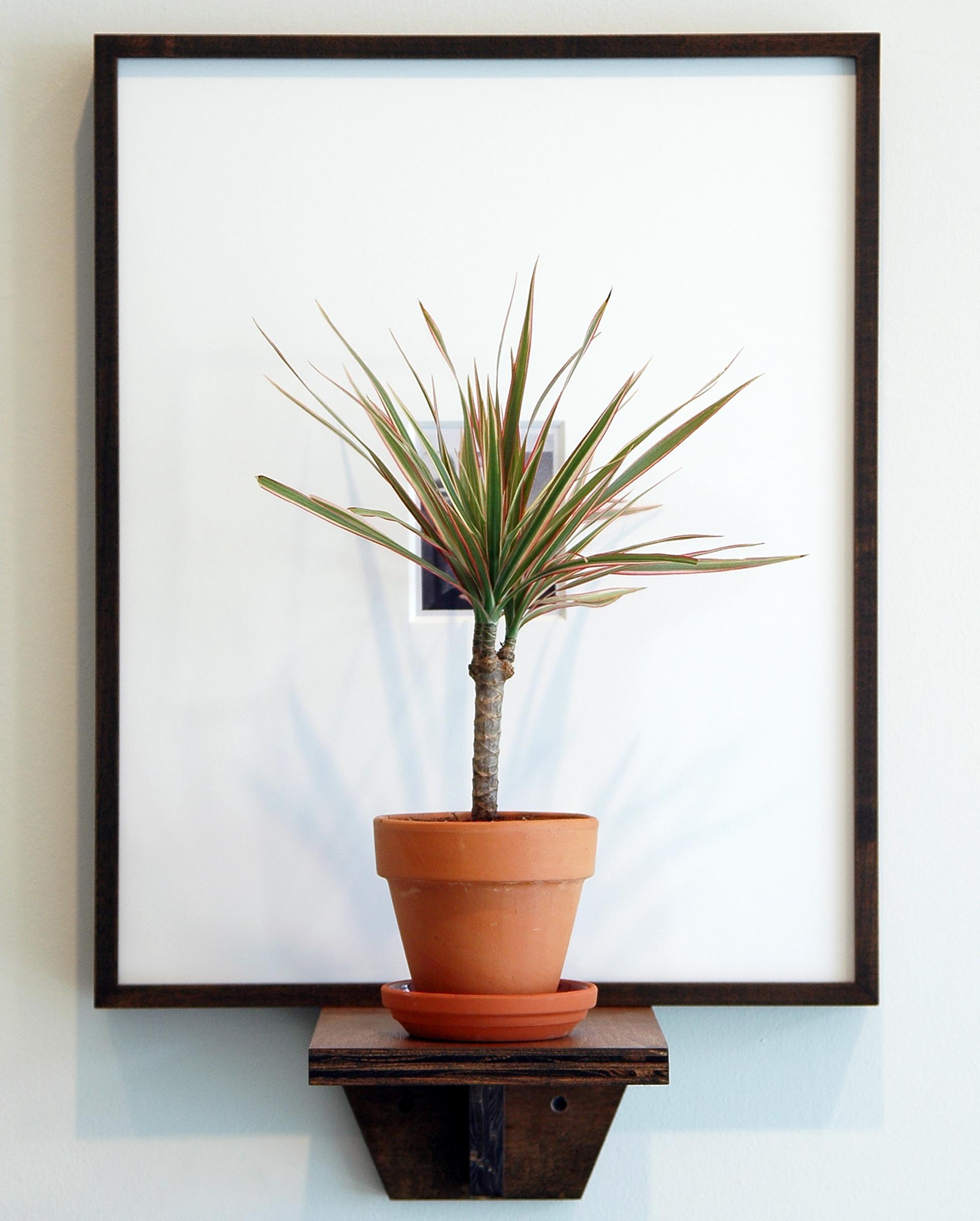 "JOSHUA PIEPER   Dead and Alive (Harry) , framed archival Polaroid, shelf, tri-colored dresena plant, 24.5"" x 16.25"" x 9.75"", 2012"