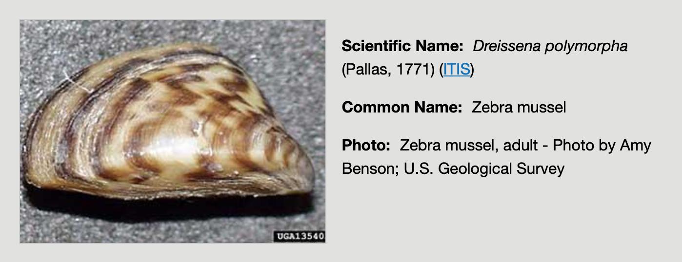 Zebra Mussel.png
