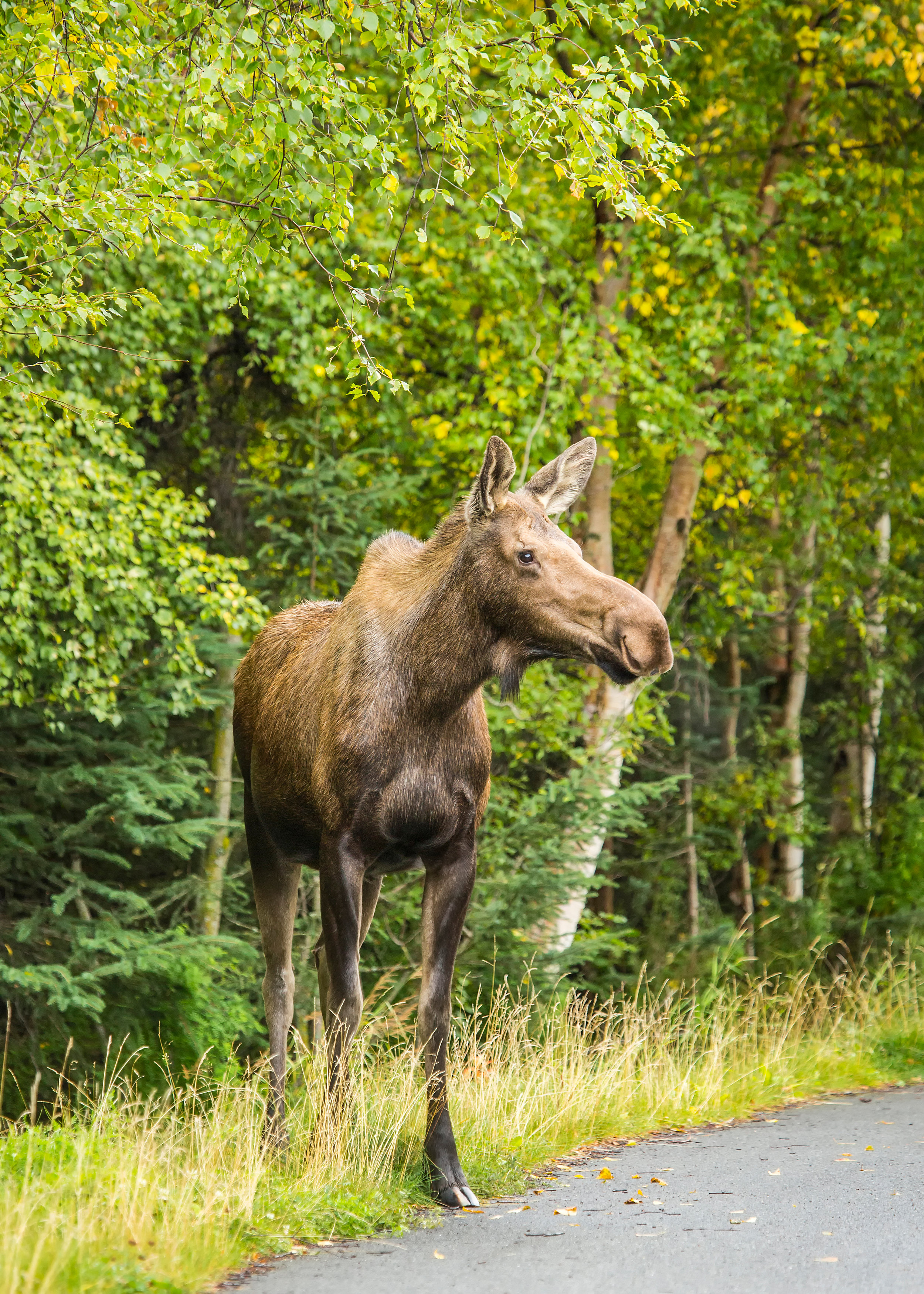 Moose on Tony Knowles Coastal Trail bike tour