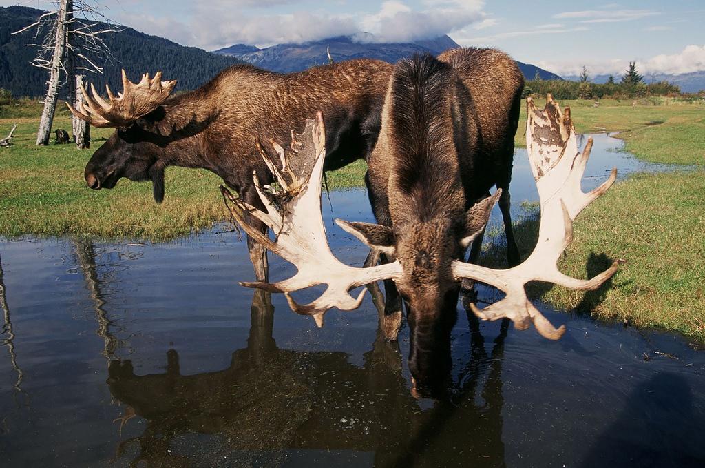 Bull moose drinking water in Alaska