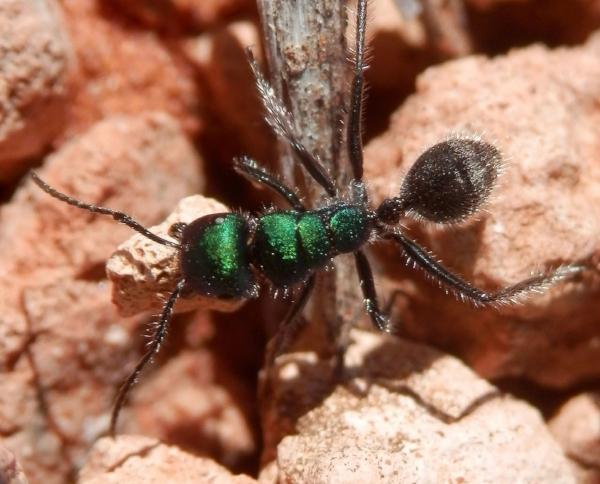 Calomyrmex sp.