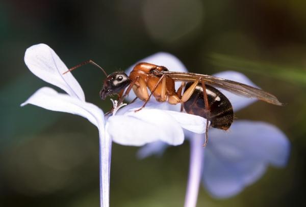 Camponotus cf. nigriceps
