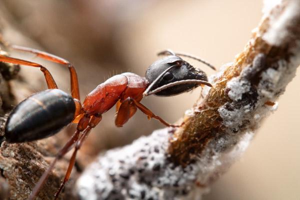 Camponotus innexsus