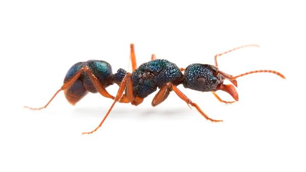 Rhytidoponera aspersa