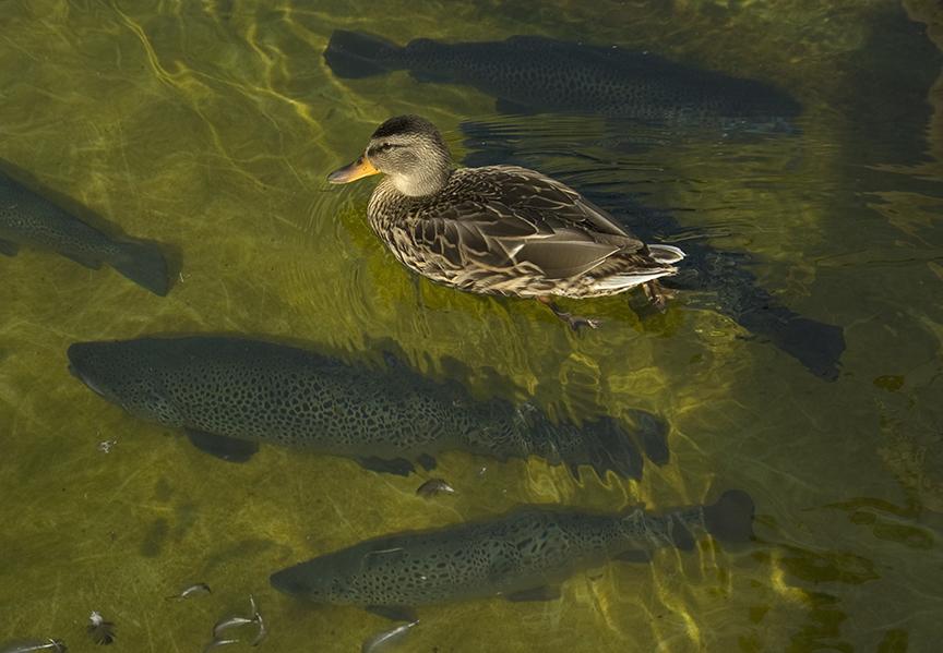 The Trout-Mallard Pond