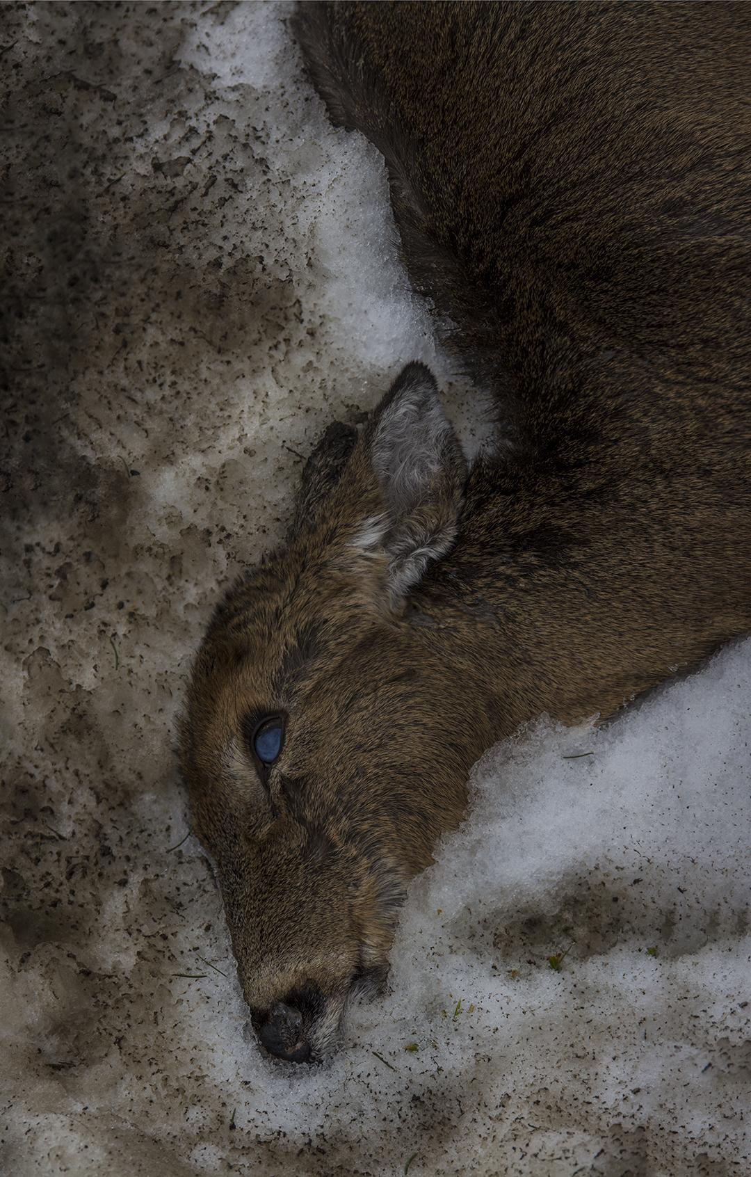 Dead Deer - 1.jpg