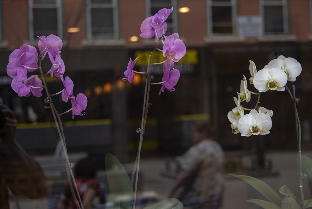 Commons Orchids.jpg