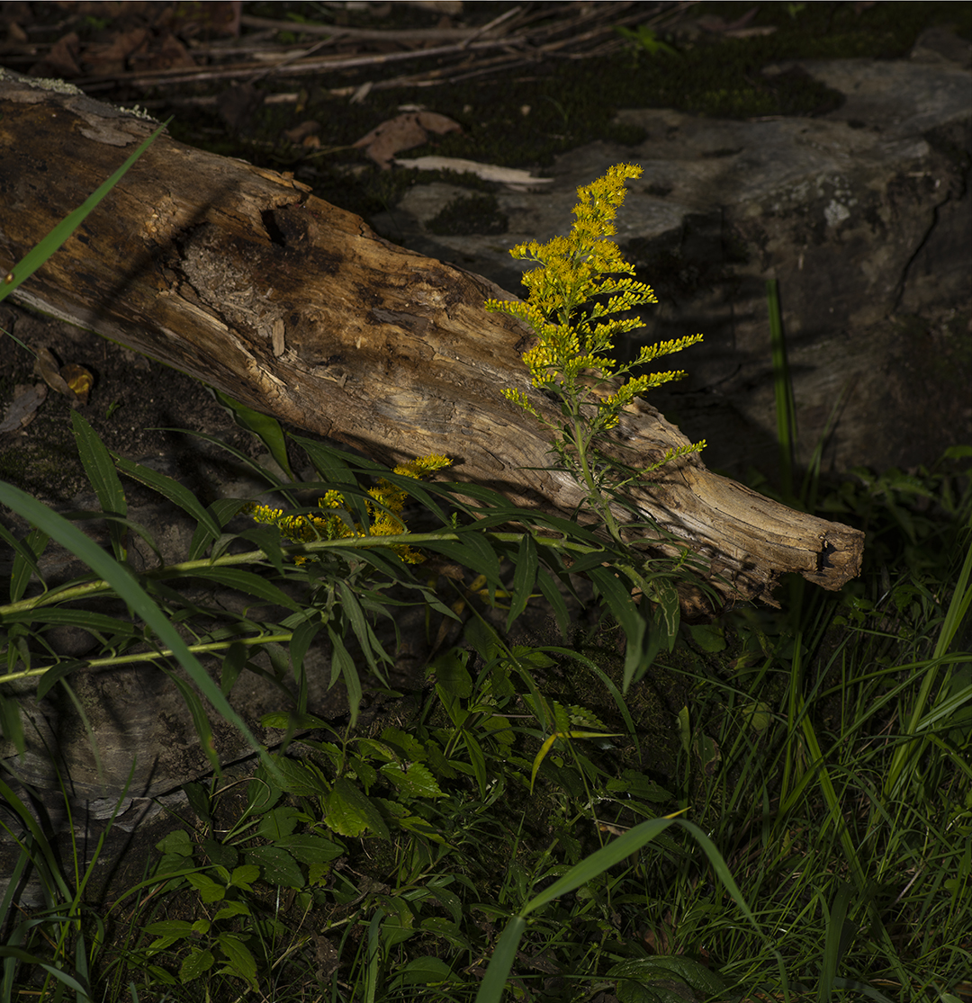 Goldenrod - Detail.jpg