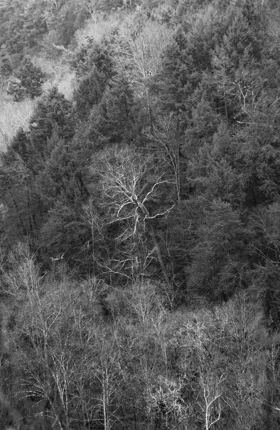 White Birch Across + B&W.jpg