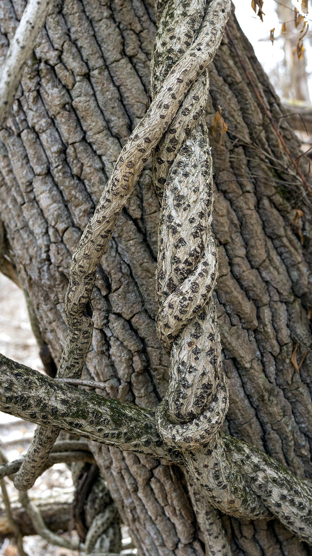 Natural Knots - 1 +.jpg
