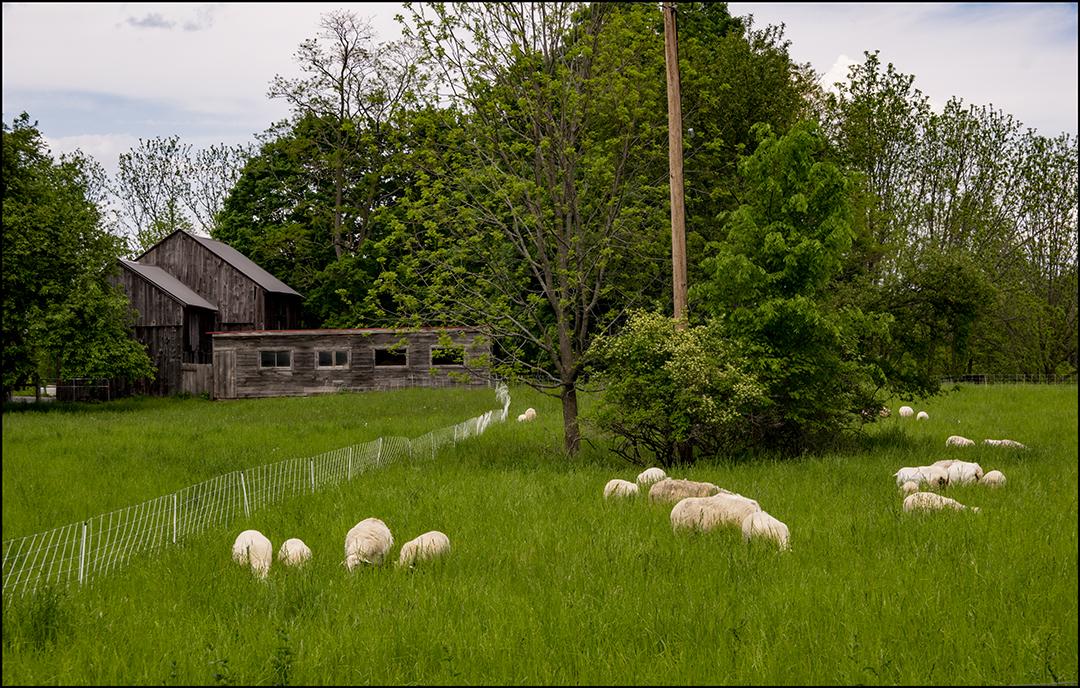 Lambs on the Field +.jpg