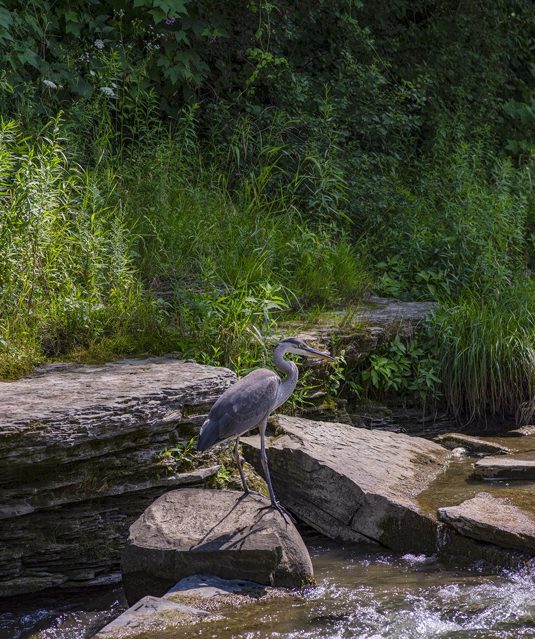 Blue Heron - 12 +.jpg
