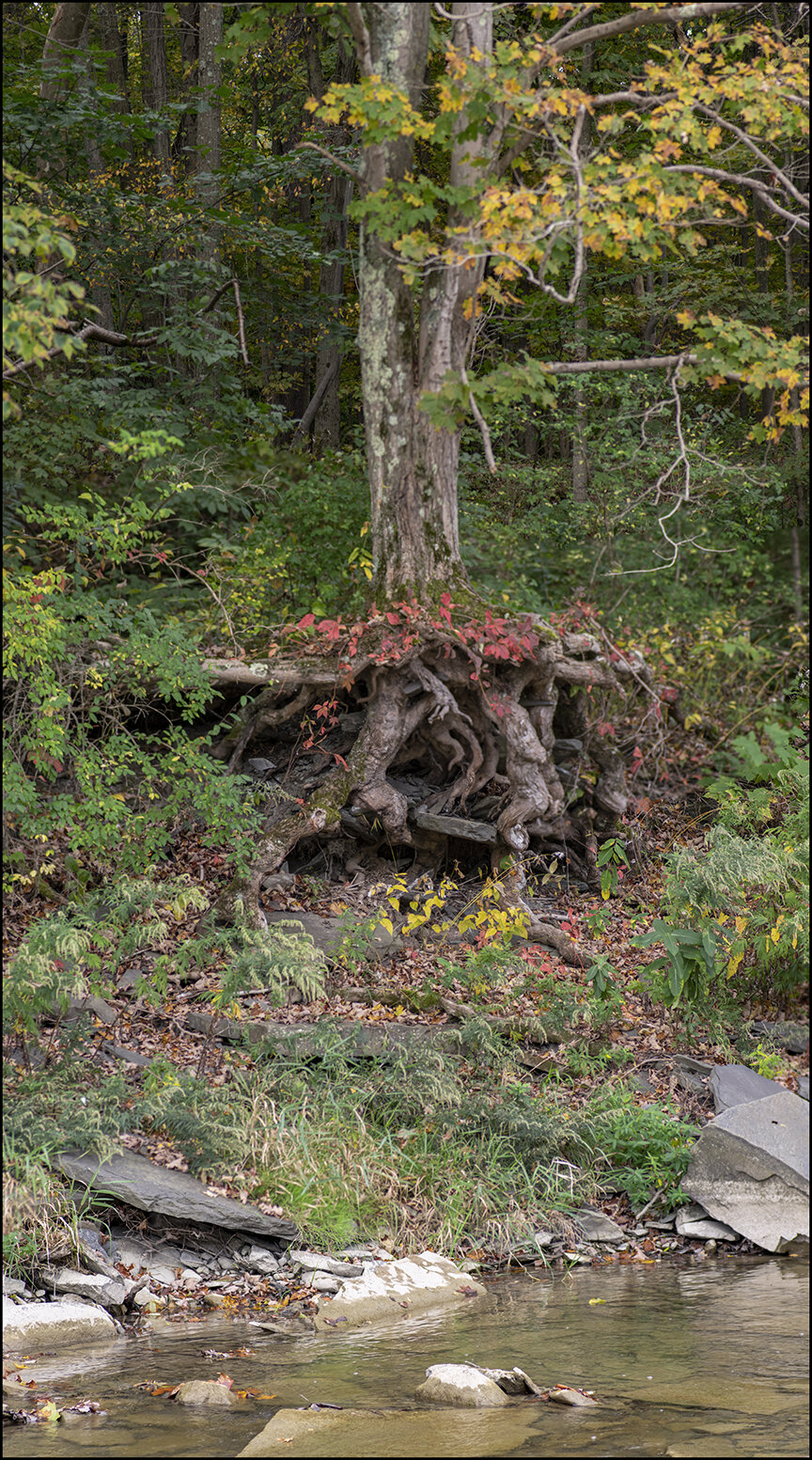 The Walking Tree - 1.jpg