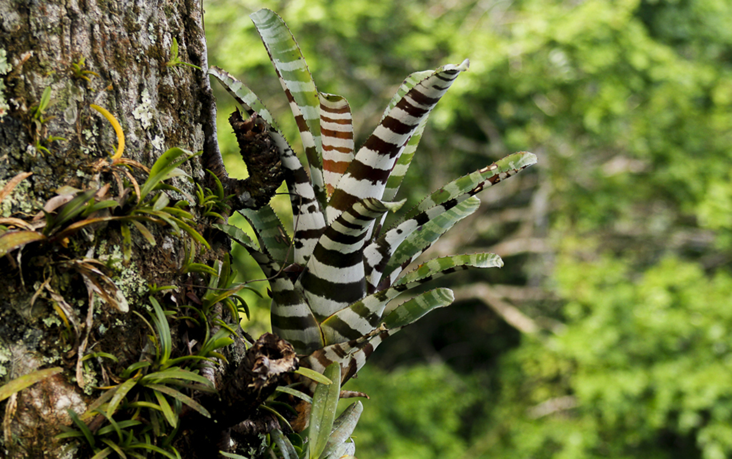 The zebra bromeliad lives on the upper branches of the trees, where it can get sun