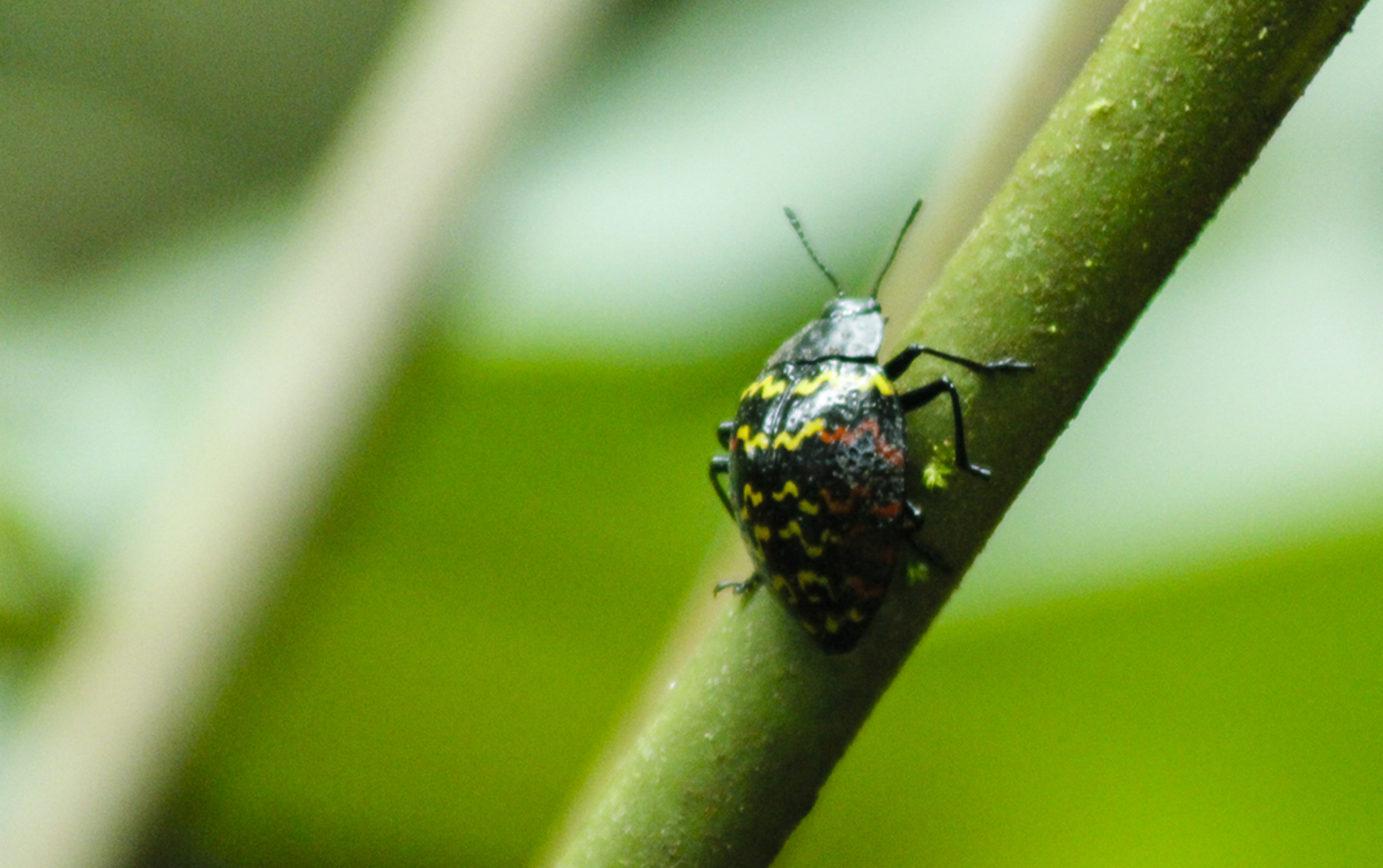 A zigzag beetle adds a tiny splash of colour to a plant stem