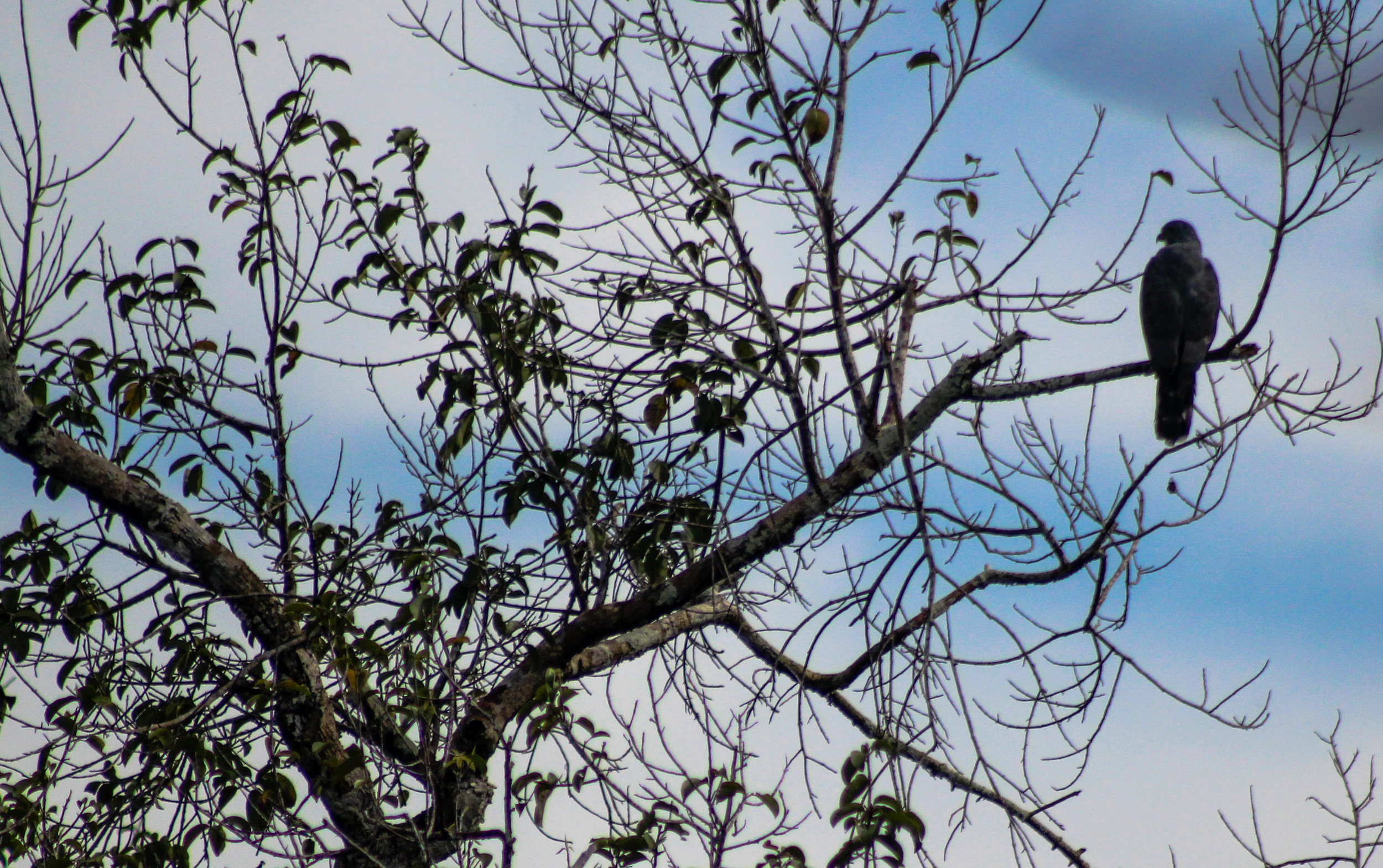 A grey-headed kite waits for prey high in the forest canopy
