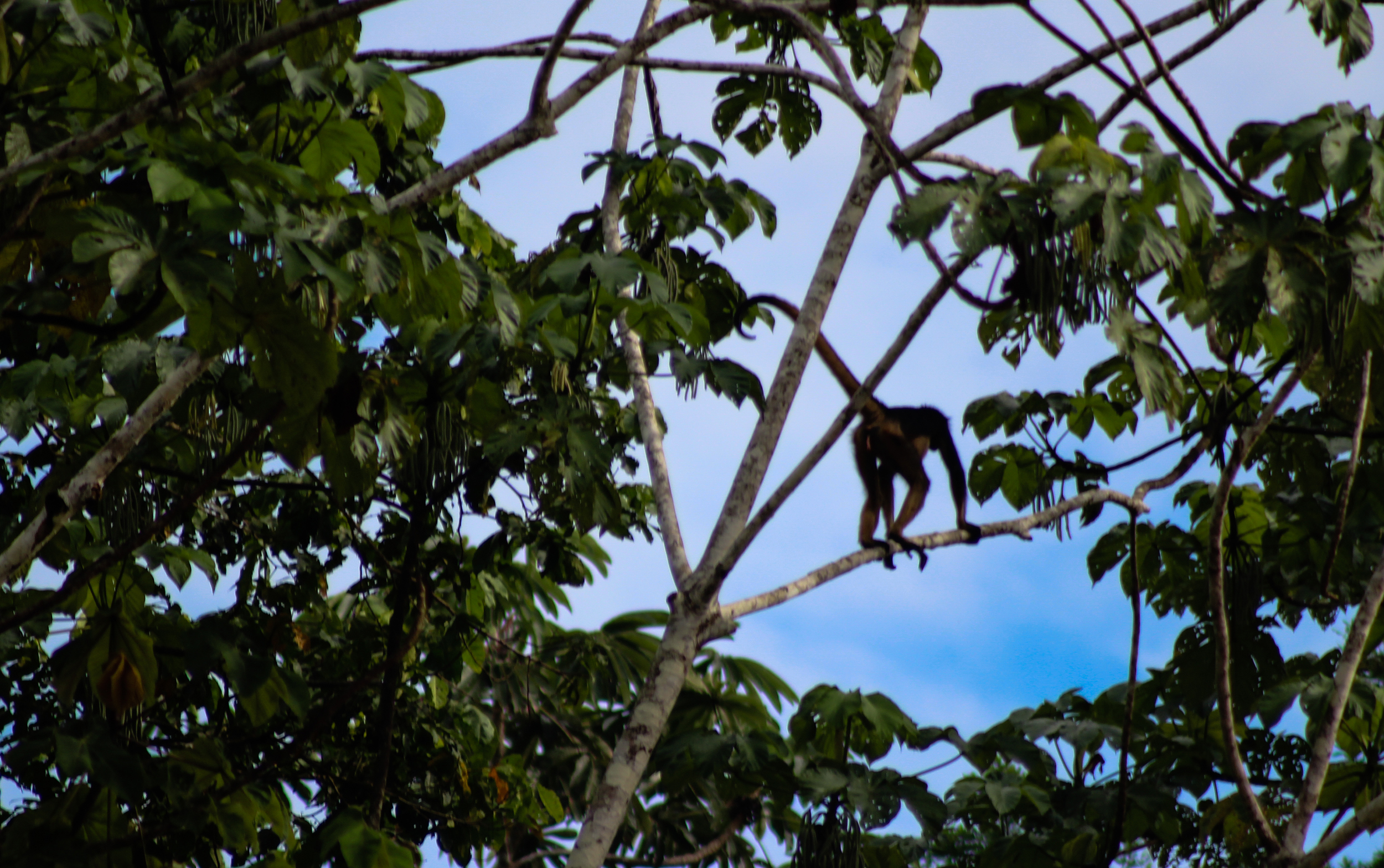 A spider monkey races across branches, as at home as a person on a sidewalk