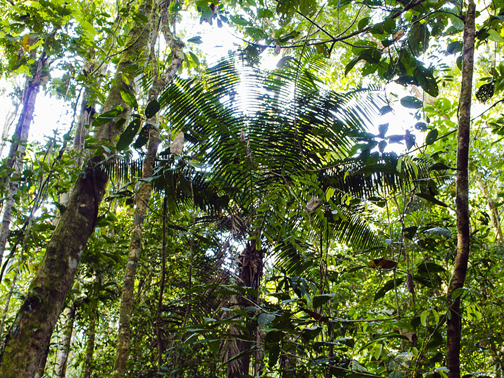 The rainforest in the Tiputini-Yasuni area appears untouched, but it is under assault by economic interests – and that involves more than just oil exploration.    (Hamdi Issawi)
