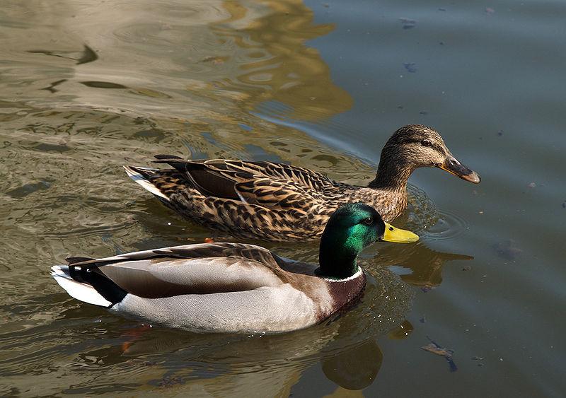 duck-mallard.jpg
