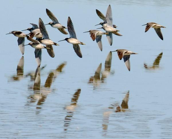 Dowitchers in flight